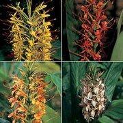 Hedychium 'Species Mixed' - 1 packet (10 hedychium seeds)