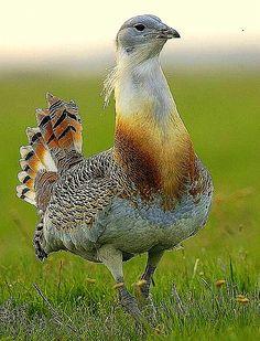 Hungarian Great Bustard-Biggest bird in Hungary: Otis Tarda Linne - Túzok Védett madarunk, fajtavédelmi programját a FAO támogatja.