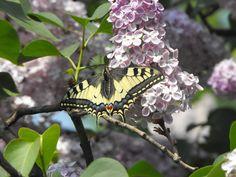 Fecskefarkú pillangó barátsága az orgonával. Moth, Insects, Animals, Animales, Animaux, Animal, Animais