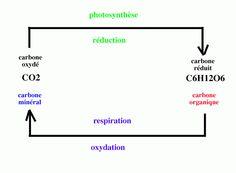La photosynthèse est une des fonctions fondamentales du monde vivant. C'est cette fonction qui permet la croissance des plantes et donc la base de toute pyramide alimentaire et qui permet aussi la présence de l'oxygène sur Terre. Le pivot du couple respiration/photosynthèse est le carbone.
