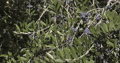 ¡Té de hojas de olivo es más poderoso que el té verde! Descubra porqué – e-Consejos
