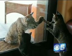A bobcat and a domestic house cat give each other a high-five through the sliding glass window = such a GREAT video!!