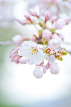 Sakura is the symbol oc flower in Japan. Japanese feel so proud oc it cos it brings everyone awesomeness!
