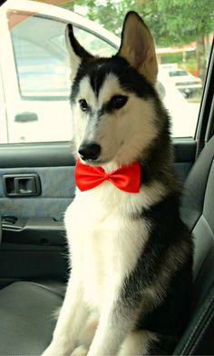 This Husky is all ready for his favorite destination, the dog park. (you never know when it's your lucky day ; )