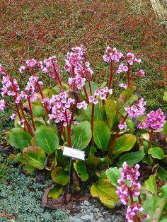 bergenia cordifolia vinterglöd - Sök på Google