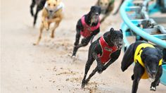 This is historic day for greyhounds in NSW! Let's hope that other state governments will follow suit.