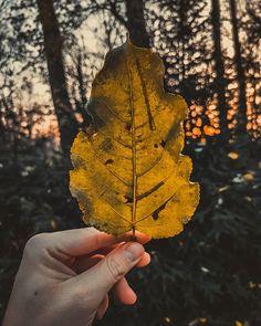 41/365  Upolowane tuż przed pracą.       #bobiko365 #365project #365 #365photochallenge #366project #365days #autumn #project365 #365challenge  #oneplus7t  #morning #morningroutine  #leaf #tree #yellow  #blackmaple #mapleleaf #sunlight #sky  #moment 365days, Moth, Insects, Animals, Instagram, Animales, Animaux, Animal, Animais