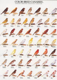 Marvellous Garden Bird Chart  Birds And Charts With Licious Ladygouldianfinchcom  Bird Posters With Appealing Split Level Garden Design Ideas Also Pot Stands Garden In Addition Garden Dining Furniture Sale And Keep Squirrels Out Of My Garden As Well As Party Garden Additionally Patio Designs For Small Gardens From Pinterestcom With   Licious Garden Bird Chart  Birds And Charts With Appealing Ladygouldianfinchcom  Bird Posters And Marvellous Split Level Garden Design Ideas Also Pot Stands Garden In Addition Garden Dining Furniture Sale From Pinterestcom