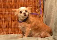 1 / 7    ***SENIOR***  Petango.com – Meet Nelly, a 8 years Chihuahua, Long Coat available for adoption in KANSAS CITY, MO Contact Information Address  9300 NW 97th Terrace , Unit, KANSAS CITY, MO, 64153  Phone  (816) 298-9997  Website  http://www.DogsbyDebin.com  Email  dogsbydebin@gmail.com