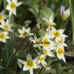 With narrow, gray-green foliage and up to 12 star-shaped flowering stems per bulb, Tulipa turkestanica is cold hardy but doesn't require winter chill to bloom. Photo: Netherland Flower Bulb Information Center Bulb Flowers, Leaf Flowers, Spring Garden, Lawn And Garden, Types Of Tulips, Bulbous Plants, Variegated Plants, Plant Identification, Spring Bulbs