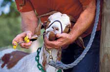 Basic farm animal husbandry skills - animal restraint, wound care, hoof care, admin. of medications, taking vital signs.....
