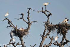 http://naturalandalus.blogspot.hu/2010/10/changing-behaviour-of-white-stork.html