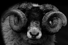 #ram #head #black_and_white #sheep Photograph by sanjeev hirudayaraj -- National Geographic Your Shot