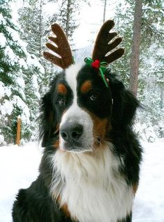 Now that's a pretty reindeer! Bernese Mountain Dog