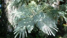 15(-30) m boylanabilen, dağınık taçlı, herdem yeşil bir odunsu türdür. Gövde sık dallı; kabuk grimsi siyah renkte ve düzgündür. Sürgün beyaz, ince sık tüylü, köşeli ve grimsi yeşil renktedir. Çift katlı bileşik yaprak 10-20 çift bileşik yaprakçıklı, karşılıklı dizili; bileşik yaprakçık  8-10 cm uzunluğunda ve 4-5 mm uzunluğunda çok sayıda çift yaprakçıklı; mavimsi açık gri renkli, tazeyken ince ve yumuşak tüylüdür. Çiçeklenme dönemi Şubat-Mart ayları arasında; çiçekler bir evcikli, yaprak…