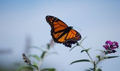 The monarch butterfly is beginning its annual migration from north America to Mexico. If you happen to spot one on its journey, share your photos and videos via GuardianWitness