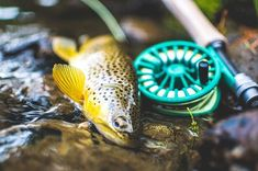 Meet Mr Brown. Creek dweller and dry fly connoisseur. . . . . . . . . . . #flyfishing #redingtongear #flylords #flyfishingphotography #flyfishingnation #findyourwater #rei1440project #wildernessculture #camp4pix #3wt #redingtonhydrogen #keepitpublic #publiclandowner #publicland #browntrout #troutbum #nikond500