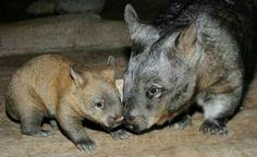 Marsupiali/Vombato dal naso peloso Meridionale(Lasiorhinus Latifrons): 2