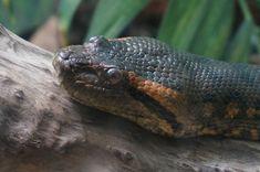 Nothing found for Ilginc Sessiz Katil Olarak Bilinen Anakonda Hakkinda Okudukca Bogulacaginiz 14 Urkutucu Bilgi Anaconda Snake, Green Anaconda, Amphibians, Reptiles, Eunectes Murinus, Reticulated Python, Baby Snakes, Rainforest Theme, Cool Snakes