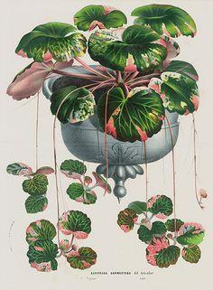 Saxifraga sermantosa - Antique Botanical Prints by Louis Van Houtte 1845