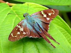 The long-tailed skipper (Urbanus proteus) is a spread-winged skipper butterfly