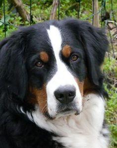 El Boyero de Berna (Berner Sennenhund) también, llamado Bernese Mountain Dog, Perro de Montaña Bernés ó Bouvier Bernois) es una raza de Perro Boyero muy versátil que se originó en el cantón de Berna en Suiza.        La raza fue utilizada con el objetivo de todos los perros de granja, la custodia de los bienes y para conducir el ganado lechero largas distancias desde la granja hasta los pastos alpinos. Este tipo de Boyero Suizo, se llamaba originalmente el Dürrbächler.