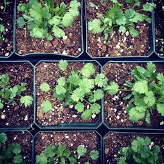 #cilantro is sprouting up at the #Queen's Forest Hills Greenmarket! #farmersmarketnyc