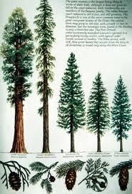 From left to right Sequoia Redwood (oldest trees), Coast Redwood (tallest trees), Douglas Fir, Port Orford Cedar, Sitka Spruce