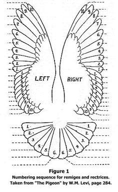 Mumtaztic Pigeon Loft - Origin Of the English Tippler