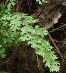 photo of Adiantum capillus-veneris -- lovely