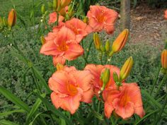 Plant database entry for Daylily (Hemerocallis 'South Seas') with 88 images, 6 comments, and 31 data details. Full Sun Perennials, Full Sun Plants, Plant Zones, South Seas, Day Lilies, Bloom, Lily, Landscape, Rose