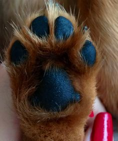 long hair mini dachshund  paw. It's best to trim the bottoms so mud and snow doesn't ball up on the extra hair between toes.