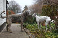 Irish Wolfhound and Grey
