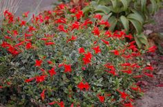 Zauschneria septentrionalis 'Select Mattole' - California fuchsia. Blooms mid-summer to mid-fall in tidy clump. 1'H x 2'W