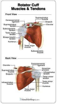 Muscles and tendons of the Rotator Cuff. #rotatorcuffanatomy