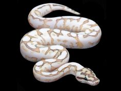 Nuclear Spider Ball Python: Butter, Fire, and Spider Pretty Snakes, Cool Snakes, Colorful Snakes, Beautiful Snakes, Animals Beautiful, Cute Reptiles, Reptiles And Amphibians, Python Regius, Reptile Room