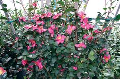 Sunless Success: 15 Great, Easy-to-Grow Shrubs for Shade | Virginia Gardener Web Articles (Camellia)