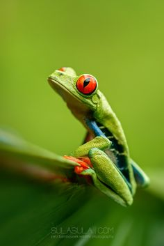 Red-Eye Tree Frog | Costa Rica by Petr Bambousek on 500px
