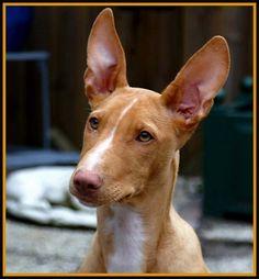 Podenco/Ibizan Hound. I want one of these babies next (aka too) lol
