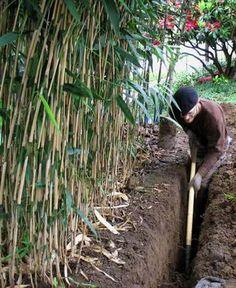 installation of an anti-rhizome barrier near the bamboo plantation -