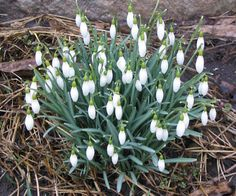 More signs of spring! Snow Drops Flowers, Spring Sign, Spaces, Signs, Plants, Shop Signs, Plant, Sign, Planets