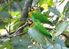 Orange-cheeked Parrot(Pionopsitta barrabandi)
