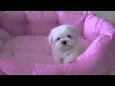 Teacup Maltese Puppy - Leo 60 seconds of puppy cuteness. You're welcome.