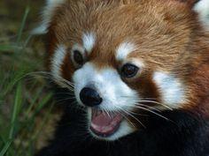 Red Panda Exploration 2 by KodaSilverwing on DeviantArt