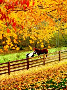 Horses in the pasture with autumn trees showing off their beautiful leaves