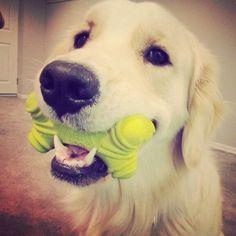 Charlie: let's play! Corgi, Play, Corgis