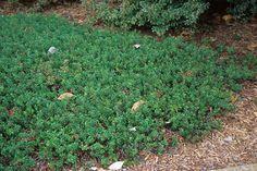 Arctostaphylos uva-ursi (Bearberry) - NATIVE, low- and dense-growing evergreen shrub/groundcover
