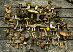The 3 Foragers: Foraging for Wild, Natural, Organic Food: Boletes