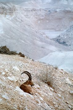 Nubian Ibex in the Negev Desert