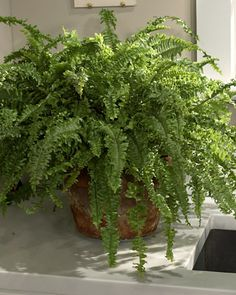 Houseplants with Mobee fight allergies by growing indoor plants--I love ferns and even better to enjoy them inside as well.fight allergies by growing indoor plants--I love ferns and even better to enjoy them inside as well. House Plants Decor, Plant Decor, Indoor Plants Low Light, Plants Indoor, Indoor Ferns, Air Plants, Natural Air Purifier, Martha Stewart Home, Container Gardening